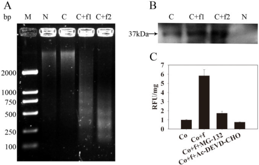 Induction of Cyt f PCD hallmarks in a cell-free system.(a) DNA laddering and (b) endonuclease activity in the nuclear extracts, which were induced by different concentrations of Cyt f. M, marker; N, isolated nucleus; C, cell-free system including nucleus and cytosolic fraction; C + f1, cell-free system plus 0.2 μM Cyt f; C + f2, cell-free system plus 1 μM Cyt f. Arrowhead points to a 37 kDa dark bands, which reflected the absence of denatured salmon sperm DNA due to DNase activity. (c) Caspase-3-like activity in cytosolic fraction. Co, cell-free system without treatment. Co + f, cell-free system plus 1 μM Cyt f. Co + f + MG-132, cell-free system plush 1 μM Cyt f and 10 μM MG-132. Co + f + Ac-DEVD-CHO, cell-free system plus 1 μM Cyt f and 100 μM Ac-DEVD-CHO. RFU/mg, Relative fluorescence units per mg protein.