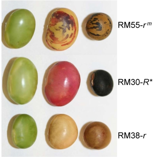 Phenotypes of Seeds Coats at Late Developmental Stages for Three Soybean Isolines.Differential anthocyanin expression in the seed coats of three soybean isolines with variants of the R locus alleles. RM55-rm with variegated black-brown seed coat; RM30-R* a stable revertant black-seeded isoline derived from RM55-rm; and RM38-r a brown seeded isoline used as the recurrent parent. See Table 1 for more information. Left, green seed of approximately 300–400 mg fresh weight; middle, dessicating seed of approximately 300–400 mg fresh weight; right, mature dry seed.