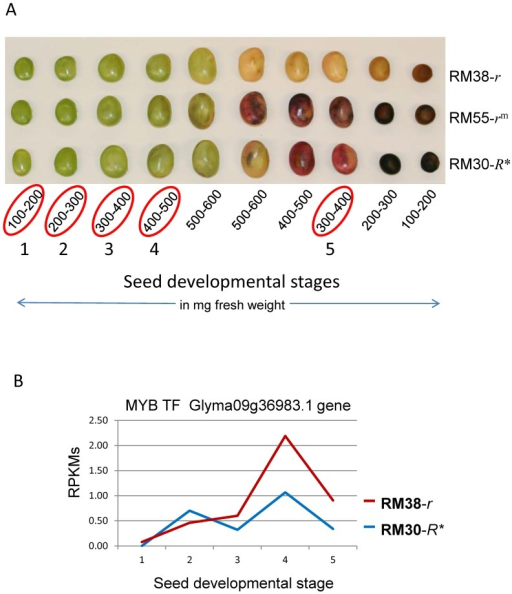 "Differential Expression of the MYB Transcription Factor Encoded by the R Locus in Developing Seed Coats of a Stable Black-Seeded Soybean Revertant Line RM30-R* and a Brown-Seeded Line RM38-r.(A) Soybean seed developmental stages for the RM38-r (brown), RM55-rm (variegated) and RM30-R* stable black revertant. Encircled in red are the five developmental stages (in mg seed fresh weight) chosen for the RNA-Seq analysis. See Table S1 for the sequence read counts of each sample which ranged from from 30 to 77 million. (B) Expression of Glyma09g36983 in RPKMs plotted against the five stages of seed development in mg seed fresh weight as shown in (A) above. 1: 100–200 mg, 2: 200–300 mg, 3: 300–400 mg, 4: 400–500 mg and 5: 300–400 mg as the seeds enter desiccation. The solid red line represents transcripts derived from seed coats of the RM38-r brown-seeded line without the TgmR* but with a ""C""-nt deletion in Exon2. The blue line represent the expression in seed coats of the RM30-R* black revertant line with the TgmR* insertion in Intron2."