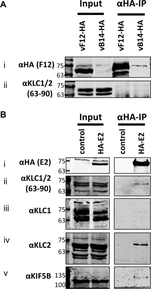 Endogenous KLC2 co-immunoprecipitates with E2.(A) SDS-PAGE and immunoblot analysis of α-HA-IP from HEK 293T cells infected with either vF12-HA or vB14-HA at 5 PFU/cell and harvested 14 hpi. Clarified cell lysates (Input) and α-HA immunoprecipitated samples were immunoblotted with the antibodies indicated on the left of the figure. (B) SDS-PAGE and immunoblot analysis of α-HA immunoprecipitation from lysates generated from HEK 293T cells transfected with a plasmid encoding HA-tagged E2 or a control plasmid as indicated. Samples were probed for the precipitated E2 protein (i) and for co-precipitation of KLC using the 63–90 antibody (ii). The co-precipitating KLC isoform identity was confirmed by immunoblotting with antibodies specific for KLC1 (iii) and KLC2 (iv). Co-precipitation of the entire kinesin-1 complex with E2 was confirmed by immunoblotting with the α-Kif5B antibody (v).