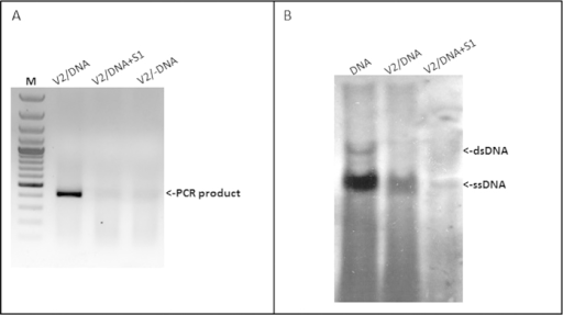 V2 forms complexes with TYLCV genomic DNA. Detection of TYLCV DNA-V2 complexes in vitro (a) and in planta (b). a: PCR detection of viral DNA following immuno-capture with V2 antibody of mixtures of V2 and infected plant DNA; V2/DNA: V2 incubated with untreated DNA, V2/DNA + S1: V2 incubated with DNA treated with S1 nuclease, V2/-DNA: V2 incubated without DNA. M - 100 bp DNA marker. b: Southern blot analysis of viral DNA-V2 complexes from infected tomato plants; DNA: DNA from infected plants, V2/DNA: DNA extracted from immunoprecipitated V2 complexes, V2/DNA + S1: DNA extracted from immunoprecipitated V2 complexes and treated with S1 nuclease.