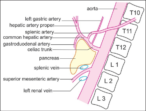 the celiac artery trifurcates into three branches, whic | open-i, Human body