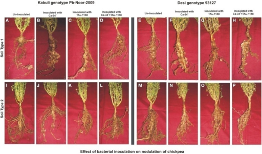 Effect of bacterial inoculation on nodulation of chickpea genotypes in different soils. The nodules induced after inoculation on kabuli genotype Pb-Noor-2009 in marginal (B–D) and fertile soil (J–L) as compared to respective non-inoculated control plants (A,I) and Desi genotype 93127 in marginal (F–H) and fertile soil (N–P) as compared to respective non-inoculated controls (E,M).