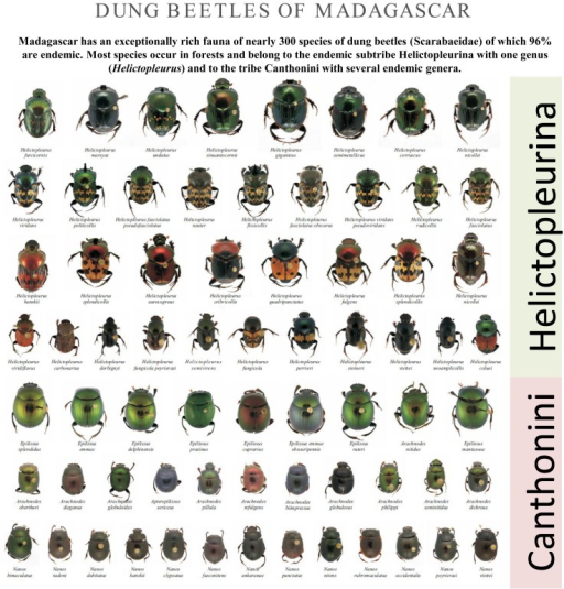 Dung beetles of Madagascar. Photographs of several Canthonini and Helictopleurina species endemic to Madagascar.