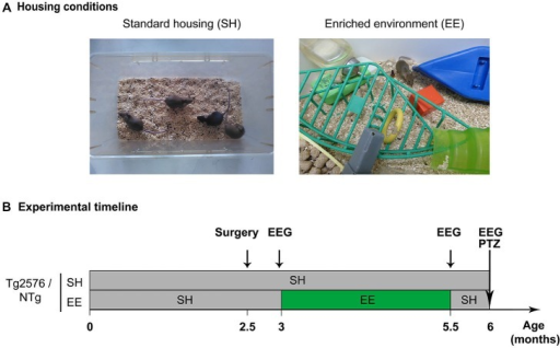 Housing conditions and experimental plan. (A) Photographs illustrating a standard laboratory cage (left; standard housing, SH) and an enriched environment (EE; right). (B) Experimental timeline depicting the mouse groups, housing conditions, enrichment period and experimental schedule. Abbreviations: SH, Standard Housing; EE, Environmental Enrichment; EEG, Electroencephalography; PTZ, Pentylenetetrazole; NTg, non-transgenic.