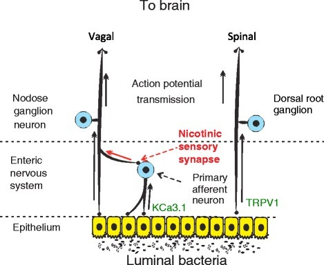 Hardwired connections between gut microbes and the brain: Gut microbes can modulate activity of spinal and vagal sensory neurons. Vagal sensory neuron may assume both primary afferent and interneuron functions via activation of enteric nervous system to vagal fiber nicotinic sensory synapse. Distinct bacterial species have been demonstrated to modulate neural activity through inhibition of the TRPV1 and KCa3.1 ion channels on spinal and intrinsic primary afferents respectively