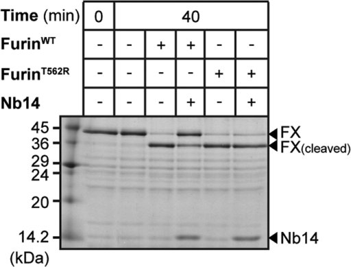 Proteolysis of factor XS195A by FurinWT or FurinT562R and its inhibition by Nb14.Factor XS195A was subjected to limited proteolysis by FurinWT or FurinT562R and analysed by SDS-PAGE. The bands of uncleaved factor XS195A (FX), cleaved factor XS195A (FX(cleaved)) and Nb14 are marked with arrowheads.
