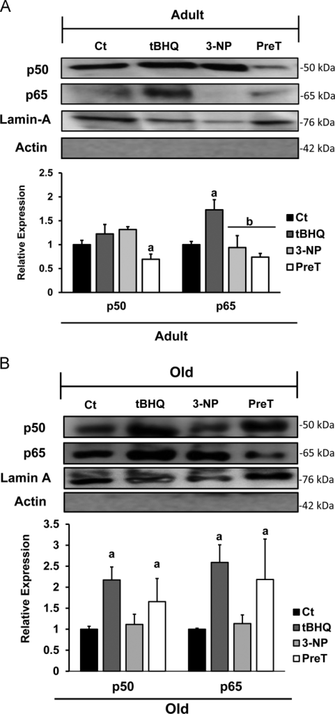 Determination of the transcription factor NFkB in the brain of adult and old rats treated with 3-NP after tBHQ PreT. NFκB subunits p65 and p50 in brain tissue from adult (A) and old (B) animals after the different treatments. The Kruskal–Wallis variance analysis followed by Dunn multiple comparison test were done to compare the data using the statistical program NCSS version PASS 15, with a significance: ap<0.05, bp<0.01 vs Ct. The results were obtained from four independent experiments and the data are expressed as mean±SE (Three animals in each group).