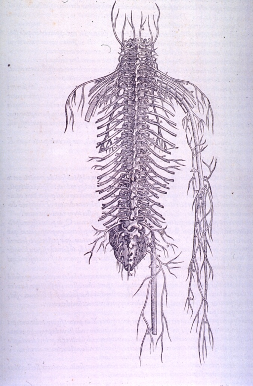 <p>&quot;Nerve Man,&quot; or a full-length view of the nervous system.</p>