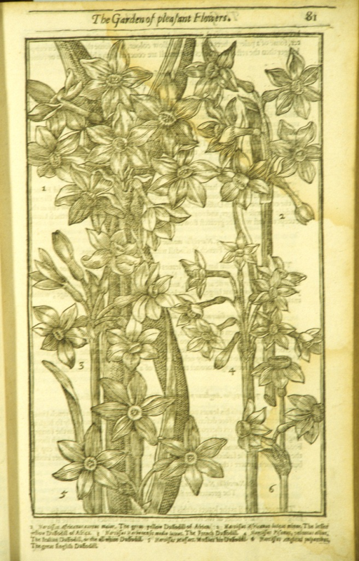 <p>Woodcut illustration of six types of daffodils.</p>