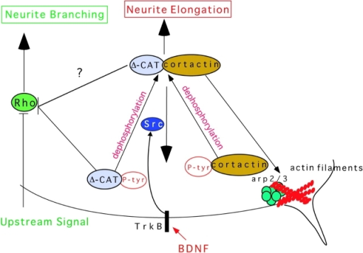 δ-Catenin and primary process extension versus branching. Two different pathways regulate the effects of δ-catenin on process elaboration. Extracellular signals such as neurotrophins acting through regulation of Src family kinases can lead to δ-catenin–cortactin complex formation. The complex becomes competent to participate in primary process elongation by recruiting the Arp2/3 complex. Rho inhibition can be amplified by δ-catenin, which leads to branching.