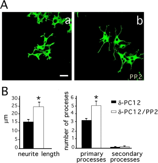 Inhibition of Src family kinases enhances δ-catenin– induced primary process elongation. (A) δ-PC12 cells were treated with 100 ng/ml NGF for 36 h and then left untreated (a) or treated with PP2 for 1 h (b). Cells were labeled with a mAb δ-catenin. Bar, 5 μm. (B) Quantification of neurite length and number of primary and secondary processes before and after PP2 treatment. No secondary processes were observed in the absence or presence of PP2.