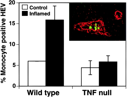 Recruitment of monocytes to lymph node HEVs is increased in wild-type mice, but not in TNF  mice, upon inflammation. 3 d after inducing inflammation, lymph nodes draining either inflamed footpads (black bars) or footpads that were not inflamed (white bars) were embedded in O.C.T., sectioned and subjected to the snapshot assay. Double-indirect immunohistochemistry was performed to identify all HEVs (red; see inset) and monocytes (green). The data is presented as percentage of total HEVs with at least one bound monocyte. Inducing inflammation in the footpads of wild-type mice results in nearly a threefold increase in monocyte recruitment to lymph node HEVs. TNF  mice have a reduced ability to recruit monocytes to HEVs upon inflammation, compared to wild-type mice. This experiment was repeated four times for wild-type mice and three times for TNF  mice. P value < 0.05.