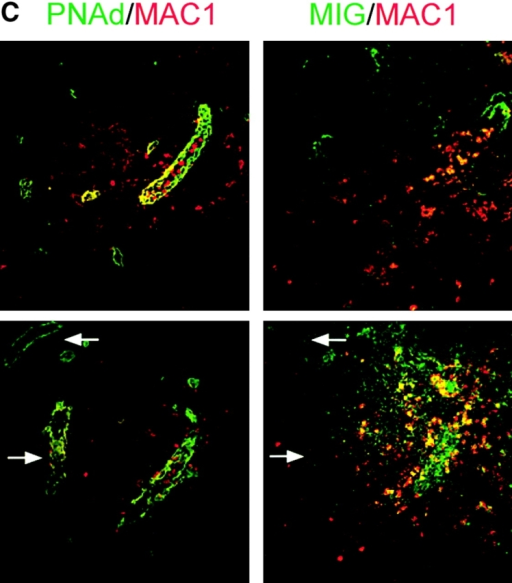 MIG expression on HEVs is correlated with increased monocyte-selective recruitment. (A) Serial sections of lymph nodes draining inflamed footpads were stained with antibodies against PNAd (top left panel, green) to identify HEVs, IP10 (top right panel, green), MCP-1 (bottom left panel, green), or an isotype control (bottom right panel, green). On all sections, an antibody against the B-cell marker B220 (red) identified the follicles and was used for orientation. MCP-1 and IP10 was not displayed on HEVs, but rather in macrophage-rich areas. (B) Serial sections (left and middle panels) were stained with either antibodies against PNAd (left panel, green) and B220 (left panel, red) or MIG (middle panel, green) and 6CKine (middle panel, red). MIG was expressed on a subset of 6CKine+ HEVs. White arrows pair vessels between left and middle panels; yellow arrow indicates a vessel that is absent in the section represented in the middle panel. The right panel depicts vessels that were stained in vitro for 6CKine (red) and MIG (green). The outline depicts the B cell follicle border. Arrows depict vessels in which expression is completely colocalized (white) or partially colocalized (yellow). (C) Serial sections of lymph nodes draining inflamed footpads were stained for PNAd (left panels, green) and CD11b (red) or MIG (right panels, green) and CD11b (red). MIG+ HEVs showed a higher association with monocytes than MIG− HEVs (arrows indicate MIG− vessels). (D) Serial sections were stained with antibodies against PNAd and MIG. The number of PNAd+ and MIG+ vessels was then counted across 10 lymph nodes. Data is presented as the percentage of total HEVs that were MIG+. Lymph nodes that were not inflamed (white bar) had <2% MIG+ HEVs. Upon inflammation (black bar), the number of MIG+ HEVs increased to ∼12%. This experiment was repeated twice. (E) Immunohistochemistry was performed as shown in C. All PNAd+ (total HEVs) and MIG+ vessels were counted and scored for whether a monocyte was bound. Data is presented as percentage of HEV+ for at least one bound monocyte. Upon inflammation (black bars) this increased from ∼6% in lymph nodes that were not inflamed (white bar) to ∼20%. The percentage of the subpopulation of total inflamed HEVs that were MIG+ and had a bound monocyte was >60%; whereas, the percentage of the MIG− HEV subpopulation that had a bound monocyte was only 13%. This experiment was repeated twice.