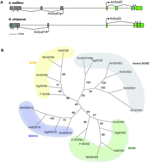 SOXE group gene duplication in hymenoptera. A. Illustration of the SoxE gene genomic region from A. mellifera and N. vitripennis genomes. Both genomes encode two copies of SoxE group gene that share a common promoter region. B. Insect SOXE group proteins form a separate clade to the vertebrate SOXE proteins, that are split into three separate groupings, SOX8, SOX9 and SOX10. Insect SOXE proteins are most closely related to vertebrate SOX8 proteins. The unrooted tree was constructed using Phylip, bootstrap values are shown at internal branches.