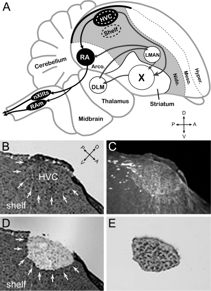 (A) Schematic of a male zebra finch brain showing the approximate locations of HVC and underlying auditory shelf, as well as other major nuclei of the song system and major pallial and subpallial brain divisions. HVC provides major input into: a direct motor pathway (black nuclei), and an anterior forebrain pathway (white nuclei). Laser capture microdissection (LCM) was used to conservatively sample HVC and the underlying auditory shelf (LCM sites denoted by dotted ovals). (B and C) Under brightfield (B, white arrows) HVC could be identified by a characteristic bump on the surface of the brain and the presence of large cells and cell clusters; under dark-field (C) mylenated fibers are seen close to the ventral boundary of HVC. LCM dissections were confirmed by examination of the section after LCM (D), as well as of tissue adhered to the capture cap (E). Abbreviations: A, anterior; P, Posterior; D, Dorsal; V, Ventral; DLM, medial dorsolateral thalamic nucleus; LMAN, lateral magnocellular nucleus of the anterior nidopallium; nXIIts, tracheo-syringeal portion of the hypoglossal nerve nucleus; RA, robust nucleus of the arcopallium; RAm, nucleus retroambigualis; X, striatal area X; Arco., arcopallium; Nido., nidopallum; Meso., mesopallium; Hyper., hyperpallium.
