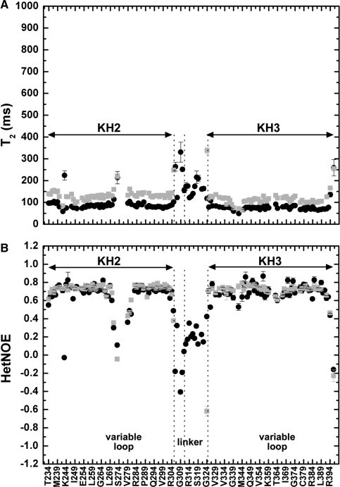 Internal motions in KH2, KH3 and KH23. T2 (A) and Heteronuclear NOE (B) values of KH2 (233–305) and KH3 (317–418) amide resonances, in grey (as reported in 8 and 6, respectively), are compared with equivalent data on KH23 (233–418) in black. The positions of the variable loop(s) and inter-domain linker in the protein sequence are indicated at the bottom of the figure. The arrows span the KH2 and KH3 domains and two vertical lines define the boundaries of the more and less flexible parts of the linker. Residues in the invariant loops of KH2 and KH3 are characterized by T2 and heteronuclear values shorter than the average, suggesting conformational exchanges with rates near µs to ms time scale (30) while residues in the variable loops displays a behaviour consistent with motions in the nanosecond range.