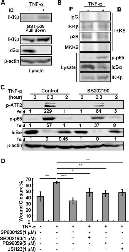 The IKKβ and p38 form complexes in vitro and in vivo.The hTCEpi cells were either untreated or treated with TNF-α (10 ng/ml) for 0.5 hour or as indicated. In some experiments, chemical inhibitors for p38, SB202190 (1 µM), JNK, SP600125 (1 µM), ERK, PD98059 (5 µM), and IKK, JSH23 (1 µM), were used 0.5 hour prior to TNF-α. Cell lysates were subjected to (A) pull-down assays using GST-p38 and glutathione-agarose beads, and (B) immunoprecipitation using anti-p38, anti-IKKβ and anti-MKK6 antibodies. The pull-down/precipitated proteins and total cell lysates were analyzed by Western blotting using antibodies as indicated. (C) The cell lysates were analyzed by Western blotting for phospho-ATF2 and -p65, and total IκBα and β-Actin. The relative fold induction was calculated based on the intensity of the bands in control (set as 1) and TNF-α treated samples. (D) The hTCEpi cells were either untreated or pre-treated with various chemical inhibitors as indicated for 0.5 hour. The cells were subjected to in vitro scratch wound healing assay in the presence or absence of TNF-α (10 ng/ml) for 48 hours. The wound closure rates were calculated based on the mean ± SD of 4 repeats and statistical analyses were done by comparing to the rates in control cells. *: p<0.05; **: p<0.01; ***: p<0.001.