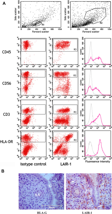 LAIR-1 expression in the decidua. Decidual leukocytes isolated from first trimester pregnancies were analysed by surface flow cytometry (A). The scatter gate R1 was used for CD45, CD56 and CD3 positive cells and R2 for HLA-DR+ myelomonocytic cells. Histograms show isotype control and LAIR-1 mAb staining to the leukocyte population discriminated (R3). Staining is representative of decidual leukocytes from 3 independent individuals. Histological staining of decidua adjacent to a first trimester implantation site is shown (B). No staining with an HLA-G mAb indicates the absence of extravillous trophoblast in this area. Immunoreactivity corresponding to LAIR-1 can be seen on maternal cells adjacent to arteries and glands or scattered throughout the decidua (right), consistent with LAIR-1 expression by maternal leukocytes. SA, spiral artery; G, uterine gland.
