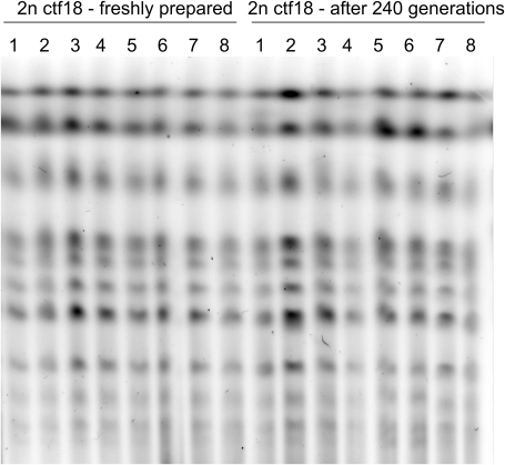 PFGE analysis of chromosomes from 2n ctf18 clones before and after prolonged growth.PFGE analysis of chromosomes isolated from eight freshly prepared 2n ctf18 clones (numbered 1 to 8) and from the same clones grown for 240 generations. See Materials and Methods for detailes.