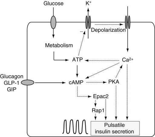 cyclic amp signaling in insulin secretion  schematic dr
