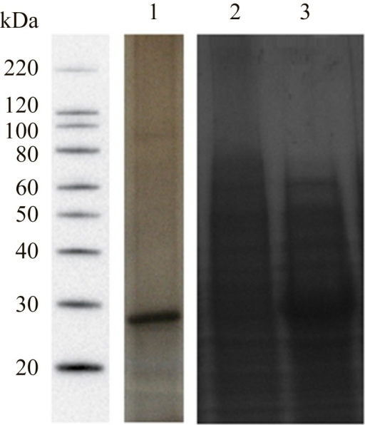 "SDS-PAGE analysis of the ""crude antigen"" and the protein chain of recombinant CCA.Aliquots of samples corresponding to the final product of adult worm extract submitted to purification steps (2) and, the CCA recombinant protein expressed in E. coli before (3) and after (4) induction with IPTG were subjected to silver stained SDS-PAGE analysis. Electrophoresis was done using 12% Tris-glycine gels. Molecular weight standards are shown in (1)."