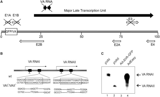 Construction of a VA RNAI and VA RNAII B-box double mutant virus. (A) Schematic drawing showing a simplified transcription map of the Ad5 genome with the position of the early (open arrows) and late transcription units (filled arrows) indicated. The deletions in the E1, E3 and VA RNA regions are indicated by crosses [see (14) and later in the text]. The box-labeled GFP/VA indicates the position where the modified VA RNAI genes and the GFP reporter gene were inserted. (B) Expansion of the genome position encoding the VA RNA genes with the mutations introduced into the B-box of VA RNAI and VA RNAII indicated. Dashes indicate nucleotides deleted during the construction of the variant VA RNA genes, with a HindIII cleavage site replacing the box B position. (C) Representative northern blot of VA RNA expression in the parental AdEasy virus and the VA RNAI/VARNAII-deleted virus, Ad-ΔVA-GFP. As a control, cytoplasmic RNA isolated from pVAI and pVAII (21)-transfected cells were also analyzed.