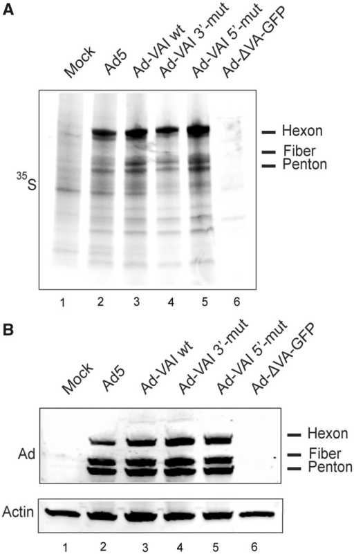 Mutating the 5′- or 3′-mivaRNAI seed sequence does not impair virus growth in HEK293 cells. (A) HEK293 cells were infected with the indicated viruses (5 FFU/cell) followed by a 35S-methionine pulse labeling at 24 hpi. Total protein extracts were separated on an SDS–PAGE, and protein synthesis was visualized by autoradiography. (B) Total late viral protein accumulation was also detected on the same samples by western blot analysis using an anti-Ad5 capsid antibody. Equal loading of protein samples was confirmed by western blot using an anti-actin antibody. The position of major viral proteins is indicated to the right of each panel.