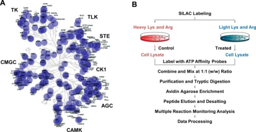 Targeted human kinases mapped in the dendrogram of the SILAC-compatiblekinome library (A) and a general workflow of SILAC-based multiplereaction monitoring (MRM) analysis for global kinome profiling usingthe ATP affinity probe (B).