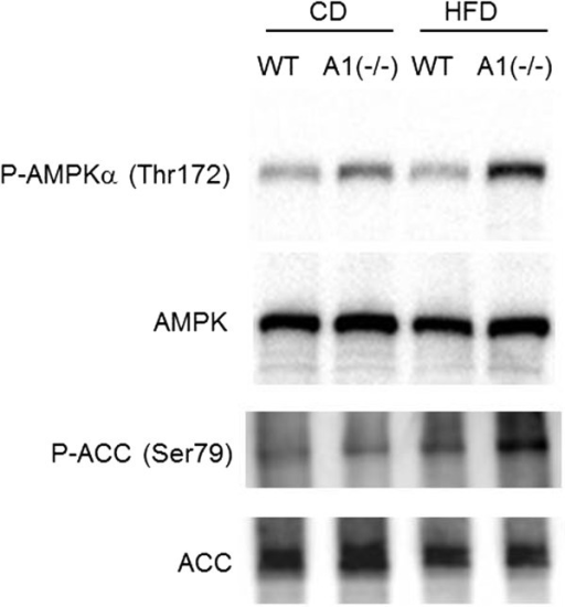 Western blot study for phosphorylation of AMPK and ACC. Phosphorylation of AMPK and ACC in skeletal muscles. Antibody for phosphorylated AMPK, AMPK, ACC, or phosphorylated ACC was used. P-AMPKα (Thr172): phosphorylated AMPK at Thr172, AMPK: total AMPK. P-ACC (Ser79): phosphorylated ACC at Ser79. ACC: total ACC. Wt: wild type mice, A(−/−): AMPD1 deficient homozygote mice. CD: fed with normal chow diet, HFD: after high fat diet challenge.