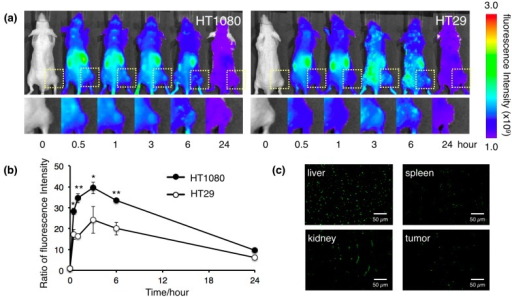 Biodistribution of the protein nanocages in vivo. (a) In vivo real-time NIR fluorescence imaging of intravenously injected Alexa Fluor 750-labeled HspG41C-CTT in HT1080 and HT29 tumor-bearing mice. Time-dependent, tumor-targeting specificities of the nanocages were monitored by the IVIS system. Square regions indicate solid tumor growths of subcutaneously injected cancer cells; (b) Fluorescence signal intensity ratio of the tumor/background obtained from in vivo images. * p < 0.05; ** p < 0.01; (c) Organ sections of tumor-bearing mice injected intravenously with Alexa Fluor 488-labeled HspG41C-CTT at 3 h post-injection.