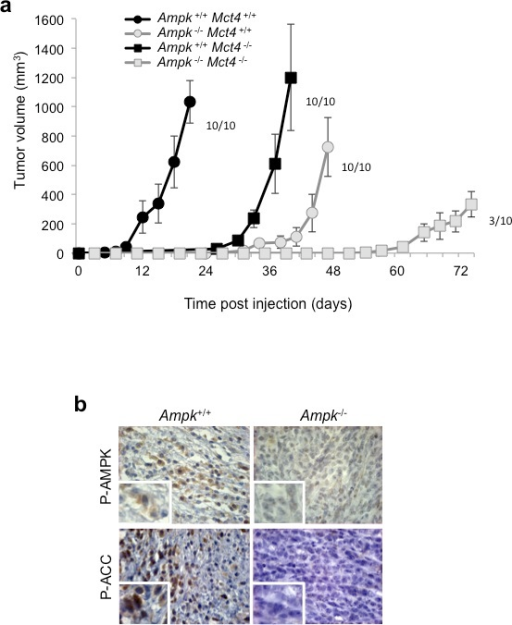 Dual knockout of Ampk (Ampk−/−) and Mct4 (Mct4−/−) dramatically decreased xenograft tumour development(a) In vivo xenograft assays were performed by injecting s.c. into the back of athymic nude mice 1×106 viable and individual tumour Ampk+/+ (Ampk+/+) or Ampk−/− (Ampk−/−) MEFs expressing (Mct4+/+) or not (Mct4−/−) MCT4. Xenograft growth was determined by measuring the tumour volume. In vivo experiments were repeated twice. Five mice were studied per condition. (b) Immunohistological confirmation of the expression of Phospho-AMPK (P-AMPK) and Phospho-ACC (P-ACC) in the corresponding Ampk+/+ and Ampk−/− tumour xenografts (Magnification: 20×).