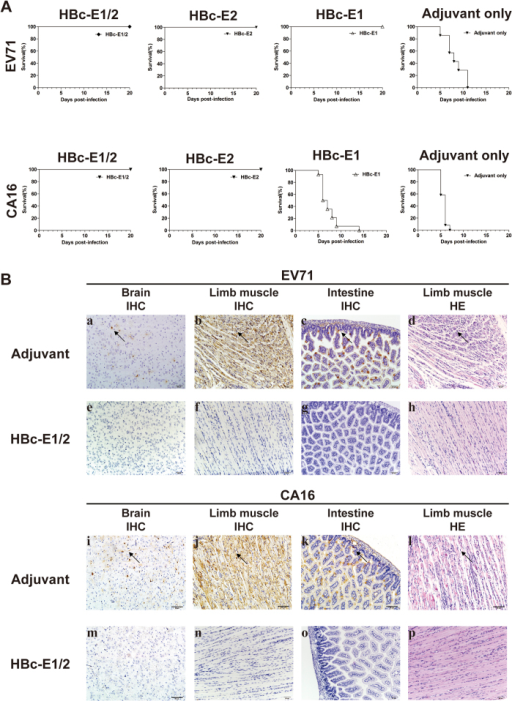 In vivo cross-protection of HBc-E1/2 to EV71 and CA16.(A) Groups of one-day old BALB/c mice born to female mice immunized with HBc-E1/2, HBc-E1, HBc-E2 or adjuvant with an immunization dose of 100 μg were challenged with pSVA-MP4 or CA16-190. The mortality were monitored and recorded daily for 20 days. The representative results of two independent experiments are shown. (B) Contrast of pathological changes between HBc-E1/2 group and adjuvant group. Mice born to HBc-E1/2 or adjuvant immunized female mice and challenged with pSVA-MP4 or CA16-190 were sacrificed, and the tissues were collected as described in the Materials and Methods. Representative sections analyzed by immunohistochemistry (IHC) or hematoxylin and eosin (HE) staining are shown.