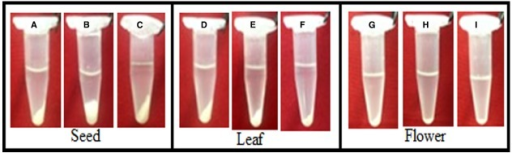 Tissue-specific protein pellets using Phenol, P+TCA acetone and TCA acetone protein extraction methods. The tissues of mature seed, green leaf and fully opened flower of pigeonpea variety ASHA were ground to a fine powder in liquid nitrogen and then rinsed with Phenol (A,D,G), P+ TCA acetone (B,E,H) and TCA acetone (C,F,I).