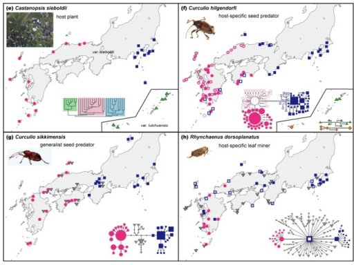 The western-eastern differentiated pattern observed in the main islands of Japan. Many plants and insects inhabiting Castanopsis-type broadleaved evergreen forests share this pattern with a major phylogeographic break typically occurring at various points in the Kii Peninsula to Chugoku-Shikoku region around the Seto Inland Sea (modified from references shown in Table 1). (a–d) Geographic distribution of cpDNA haplotypes found among four plant species of broadleaved evergreen trees. (e) Geographic distribution of the UPGMA clusters found among EST-SSR markers of Ca. sieboldii, the dominant tree. (f–h) Geographic distribution of mtDNA clades found among three weevil species associated with Castanopsis.
