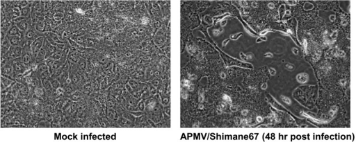 MDBK cells infected with APMV/Shimane67.
