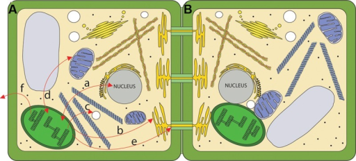 Routes for chloroplast signaling. (A) Chloroplasts generate signals that target multiple intercellular targets. (a) The majority of chloroplast proteins are encoded by the nucleus, and the import of those proteins into the chloroplast is anterograde signaling. In turn, several chloroplast products act as retrograde signals to regulate expression of nucleus-encoded genes. (b) Chloroplasts are metabolically coupled to the ER and it is likely that signals may move from the chloroplast to the ER. (c) Chloroplasts and peroxisomes are also closely associated, and numerous chloroplast products are substrates for peroxisomal pathways. (d) Mitochondria and chloroplasts are known to signal to each other. (e) Chloroplast signals regulate intercellular trafficking via plasmodesmata. It is not clear if this signaling is direct or involves retrograde signaling to the nucleus. (f) Chloroplasts produce volatile compounds that can signal to neighboring plants during pathogen attack. (B) The physical interaction between chloroplasts and various organelles may serve as a direct route for signaling.