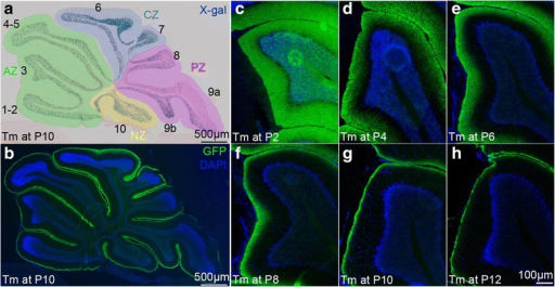 The axons of newly produced gcs stack inside to out in the molecular layer. a-b Adjacent sagittal midline sections of a P28 Atoh1-tau Cb after Tm administration at P10 stained for (a) X-gal to visualize the nuclei of the marked cells, (b) GFP fluorescent immunostaining (green) to visualize the axons of the marked granule cells. The anteroposterior zones have been color coded (anterior zone: green, central zone: blue, posterior zone: purple and nodular zone: yellow). c-h sagittal midline sections of lobule 3 of P28 Atoh1-tau Cb stained for GFP to reveal the position of the axons of the marked granule cells after Tm administration at the indicated ages showing that the proportion of molecular layer labeled diminishes as Tm is administered later