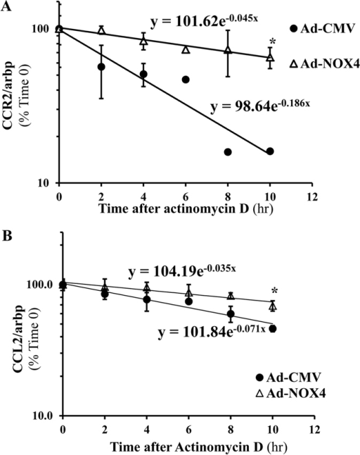 NOX4 stabilizes CCR2 and CCL2 mRNAs in stellate cells.24 hours after transducing LX-2 cells with adeno-NOX4 or control vector (adeno-CMV), cells were treated with actinomycin D (2 μg/ml) to inhibit RNA polymerase. CCR2 and CCL2 mRNA half-lives were calculated after 2, 4, 6, 8 and 10 hours of treatment as T1/2 = Ln(2)/λ. The result showed significantly prolonged CCR2 (A) and CCL2 (B) mRNA half-lives in cells transduced by adeno-NOX4 (compared to control vector) *p < 0.05.